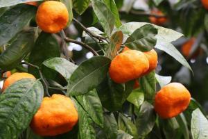 청귤 세럼 효능은 레몬에 비해 비타민C가 10배나 높아 면역력 강화나