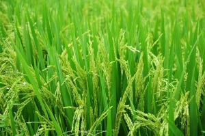 현미밥 식단 흔히 압력밥솥으로 밥을 하면 센불로